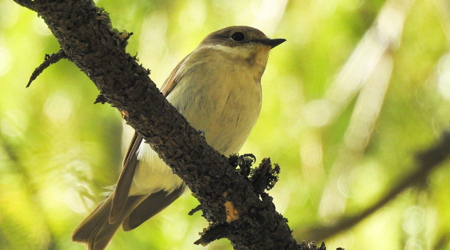 Kuvassa lintu puun oksalla.